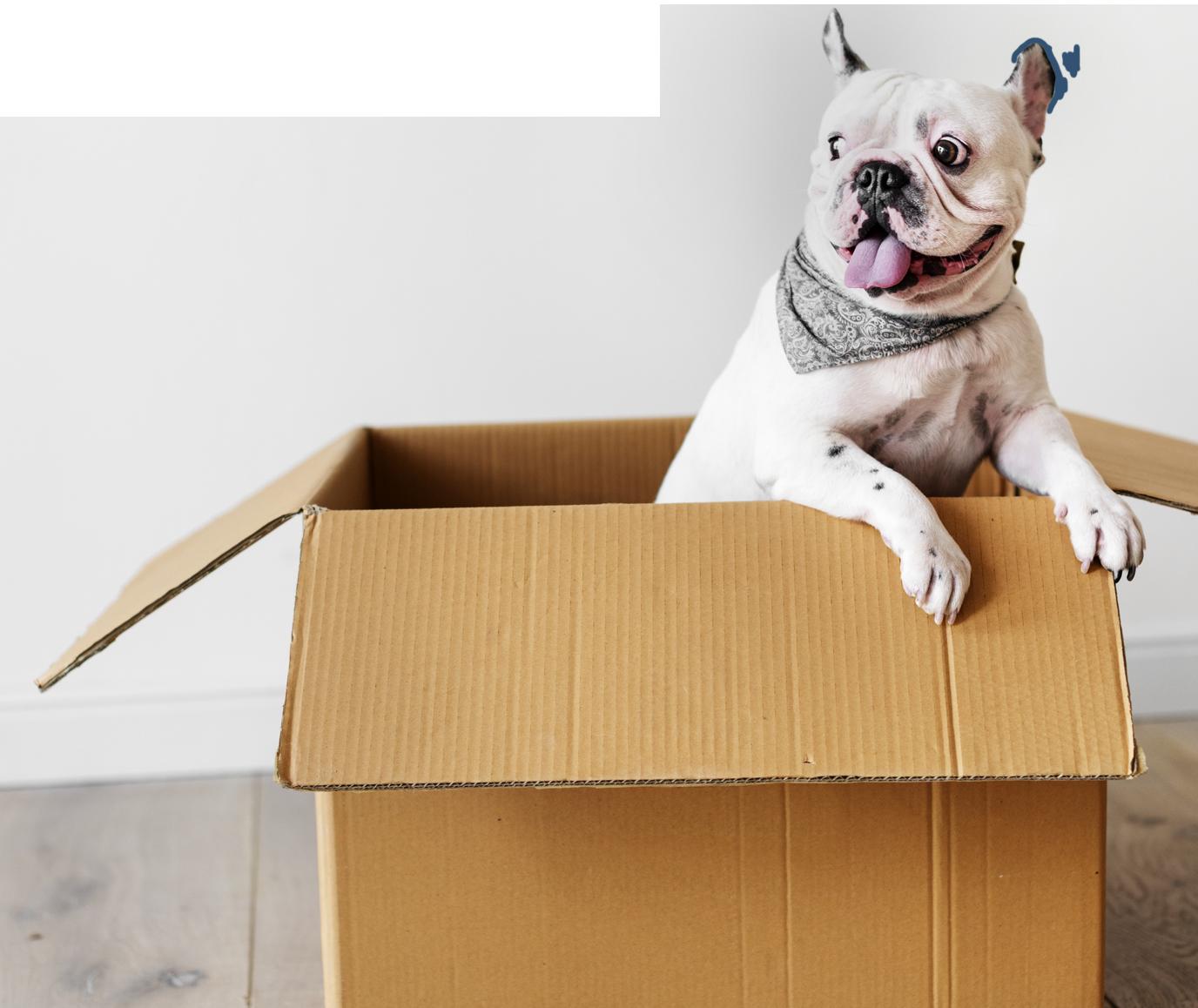 bulldog in box