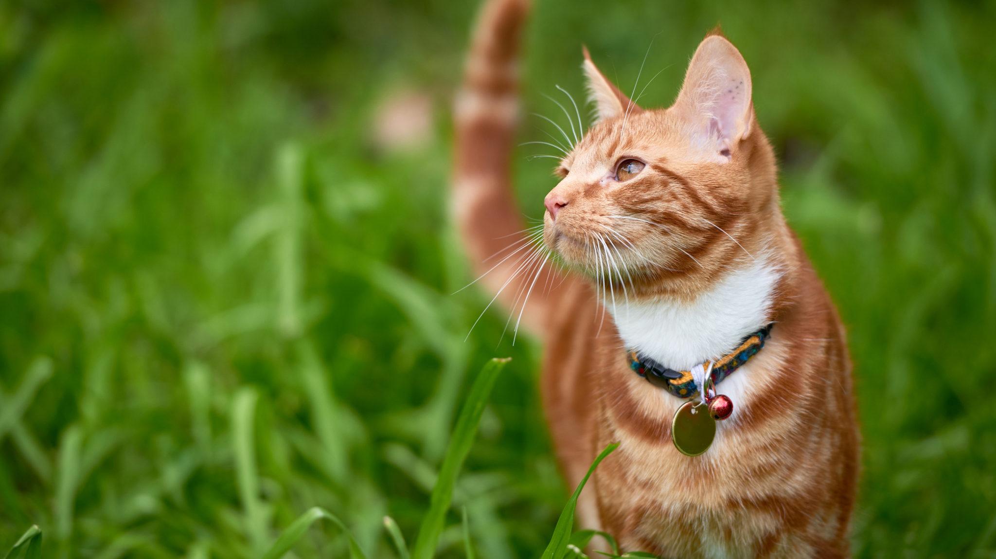 orange cat in grass